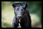 Lurcher puppy poster, Lurcher puppy print