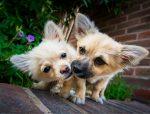 Chihuahua puppy poster, Chihuahua puppy print