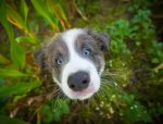 Border Collie puppy poster, Border Collie puppy print