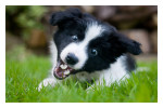 Border Collie puppy poster, Border Collie puppy print