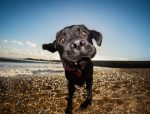 Labrador print, labrador poster, funny dog poster, funny dog print