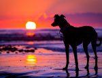 dog beach poster, dog beach print, lurcher poster, lurcher print